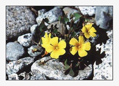 floramarilla.jpg